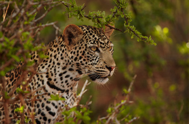 5 days Leopard Mara Wildlife Photo Safari