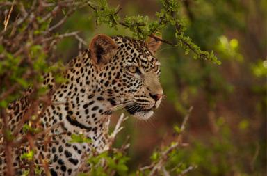 5 days Leopard Mara Wildlife Photo Safari