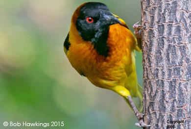 Black-Headed-Weaver