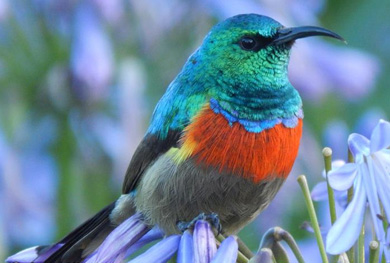 Northern Double Collared Sunbird Kenya bird Tour