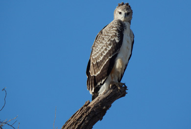 19 days Birding safari :Juv Martial Eagle