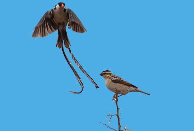 uganda-albertine-birding-safari