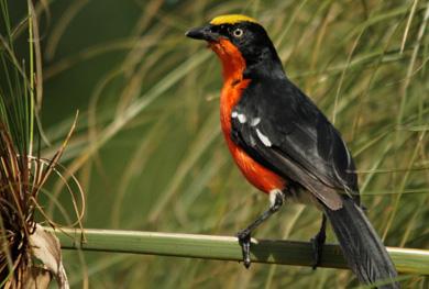 uganda-birding-safari-18-days