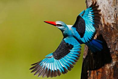 October birding safari: Woodland Kingfisher