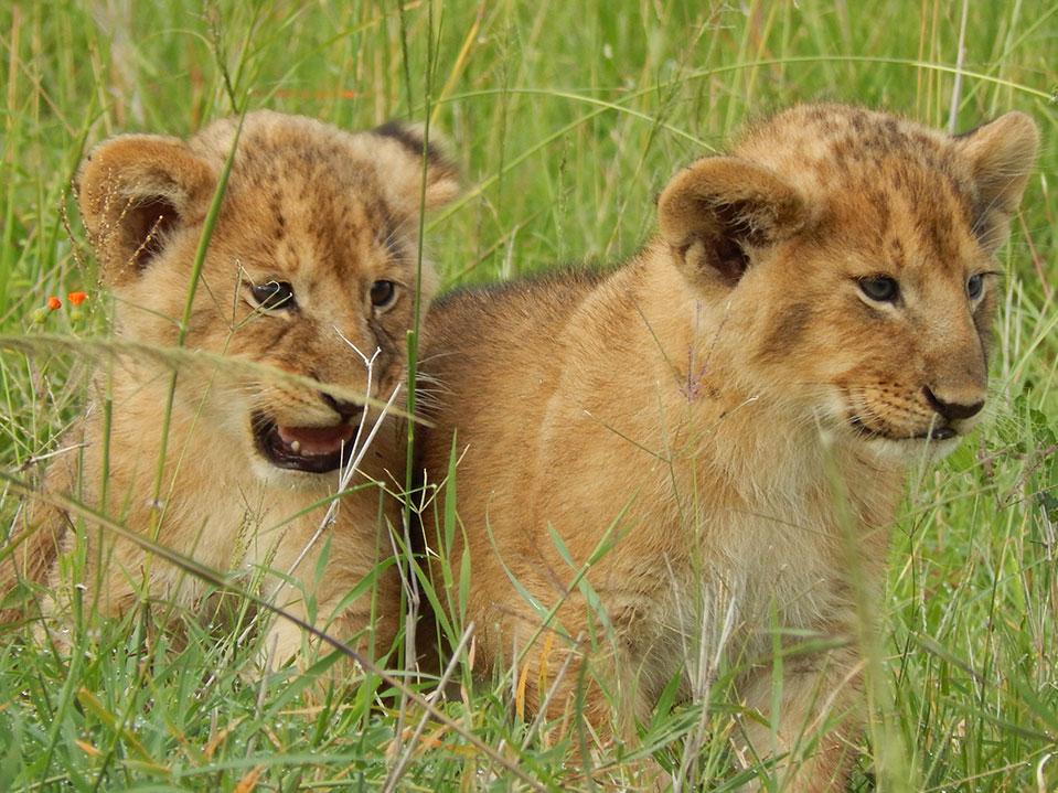 10 days Africa Kenya safari-young lion cubs