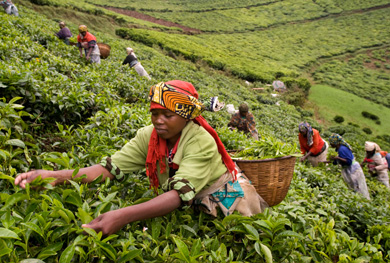 Kiambethu tea farm tour