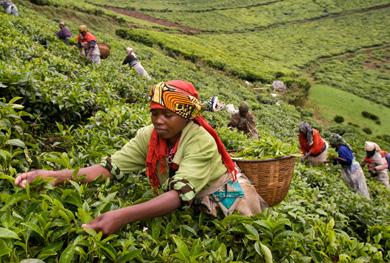 Kiambethu tea farm tour