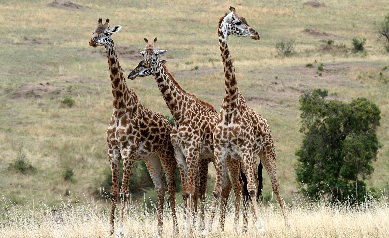 3 days Masai Mara Safari- Giraffe
