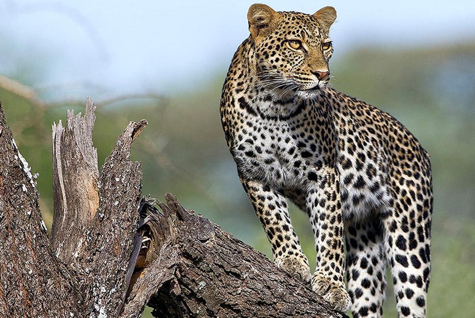 leopard-in-masai-mara2