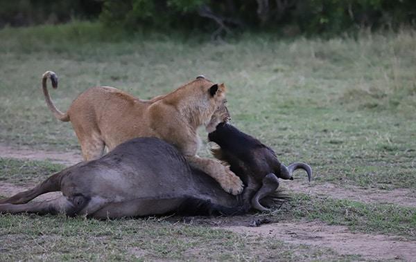 lions-wildbeest-kill
