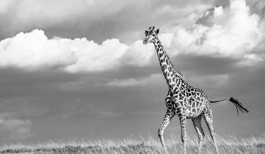 Governor's Camps Giraffe
